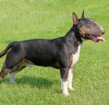 Despre Bull Terrier