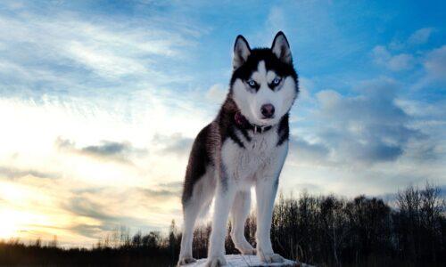 Despre Husky Siberian