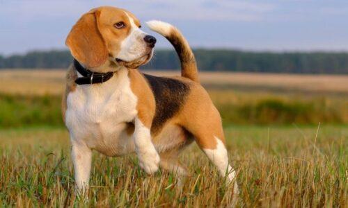 Despre Beagle
