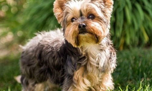 https://paypal.ro/wp-content/uploads/2021/03/terrier-yorkshire-1280x720-1-500x300.jpg
