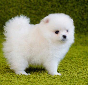 Despre Pomeranian